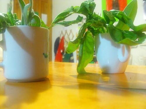 Albahaca, hierbabuena y salvia experimentales