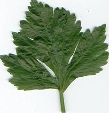 cara mengurangi minyak pada kulit berminyak dengan daun seledri