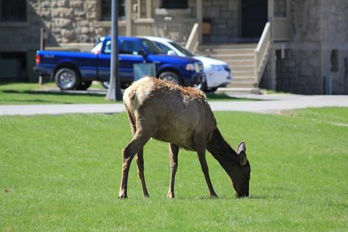 Elk Elk Everywhere