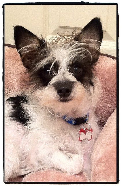 Buster Chinese Crested Terrier This Is My Rescue
