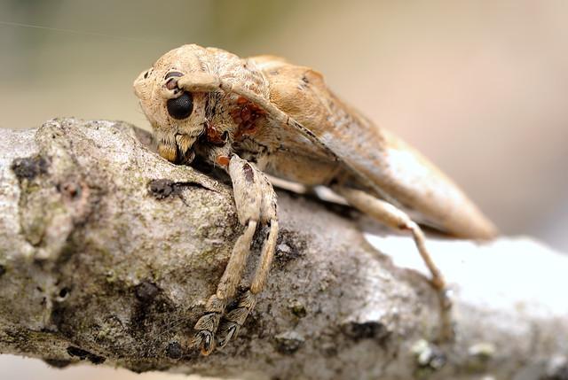 Niphoma furcata
