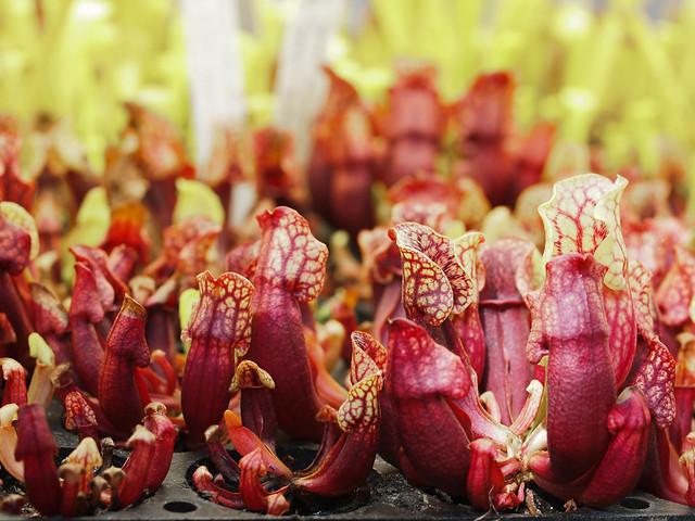 Sarracenia propagation