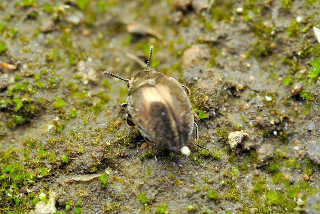 Lamprobyrrhulus hayashii