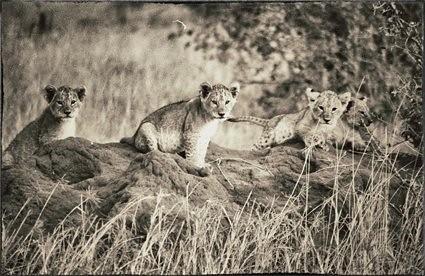 kenya leoni cuccioli nakurunationalpark ©antobozzini