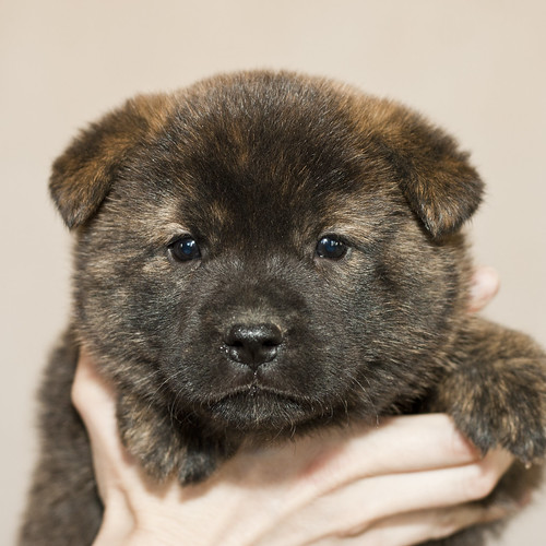 Kumi-Second-Litter-Pup2-Male(Tomo)-Day30a
