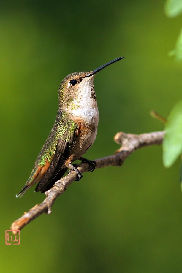 Allen's Hummingbird 051812