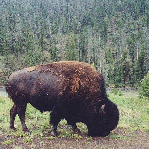 Bison having breakfast
