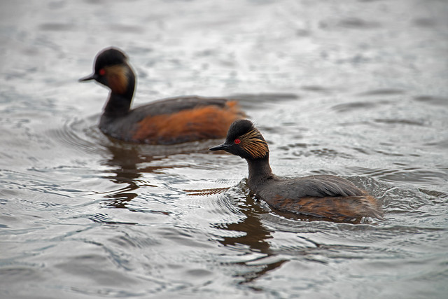 PAIR OF BLACK-NECKED GREBES Podiceps nigricollis