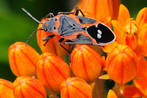 park orange creek butterfly bug weed small kansas milkweed wichita chisholm chisholmcreekpark
