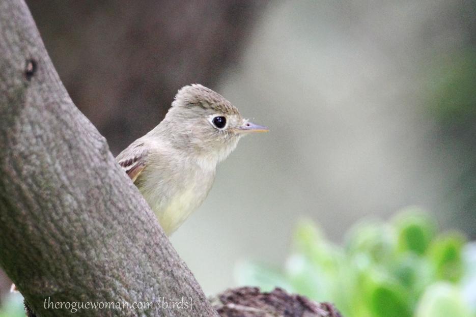 052212_bird_pacSlopeFlycatcher02