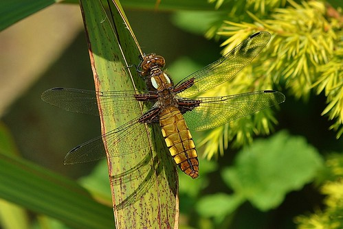 Broad-bodied Chaser Female Pegwell Garden by Kinzler Pegwell