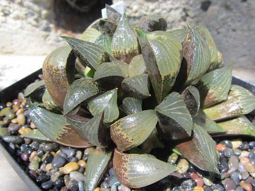 Haworthia mirabilis var badia napier  (15) by Kris and Greg