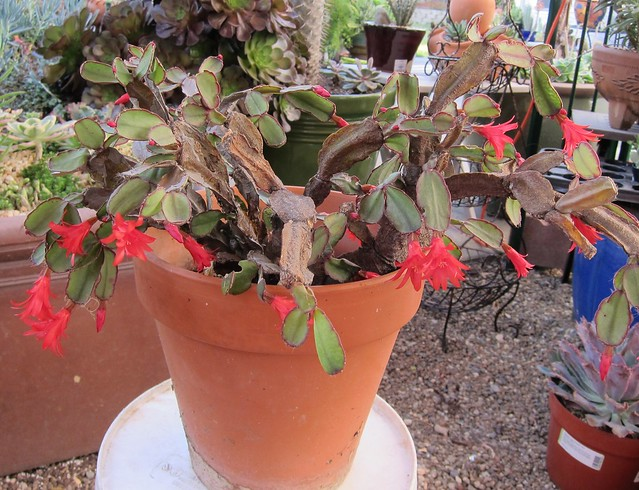 Old scarred Xmas cactus
