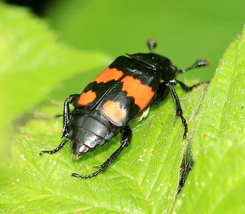 Sexton Beetle 7298
