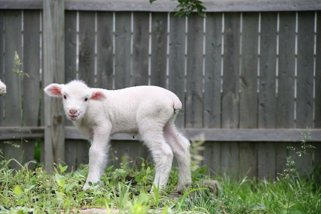 baby sheep 4