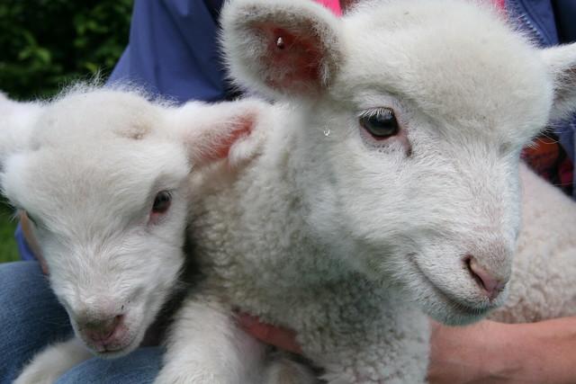 baby sheep 2