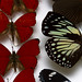 The only full red winged butterflies