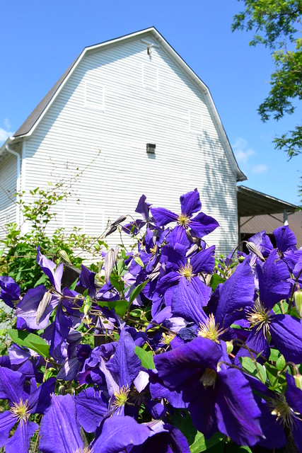 Clematis and Barn