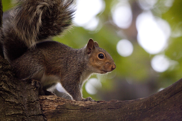 squirrel cutie
