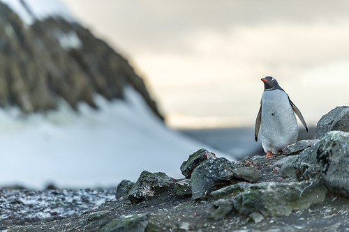 Gentoo Penguin on Barrientos Island by Duane Miller
