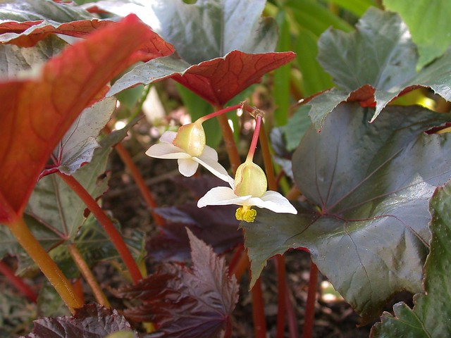 Begonia U584, female flowers