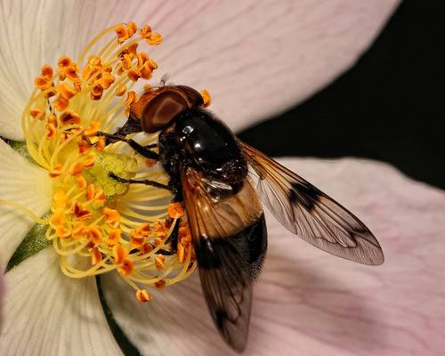 Volucella pellucens by Rivertay