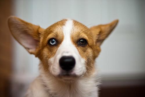 無料写真素材, 動物 , 犬・イヌ, ウェルシュ・コーギー・ペンブローク, 虹彩異色症・オッドアイ
