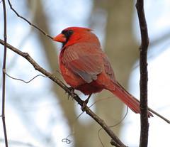 animal, perching bird, branch, red, fauna, finch, cardinal, beak, bird,