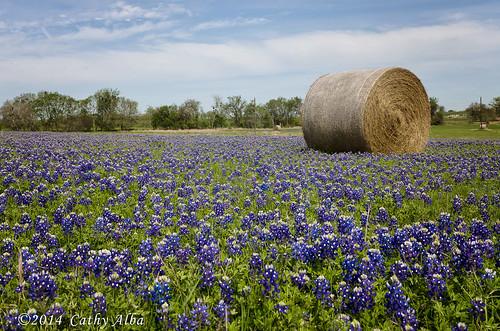 nature landscape nikon hay bluebonnets haybales texaswildflowers wildfowers texasbluebonnets texaslandscape texasnature nikon2470mmf28g nikond7000 bluebonnets2014
