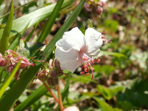 Géranium x cantabrigiense 'Biokovo'