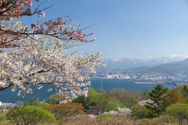 20160508手宮公園の桜_01