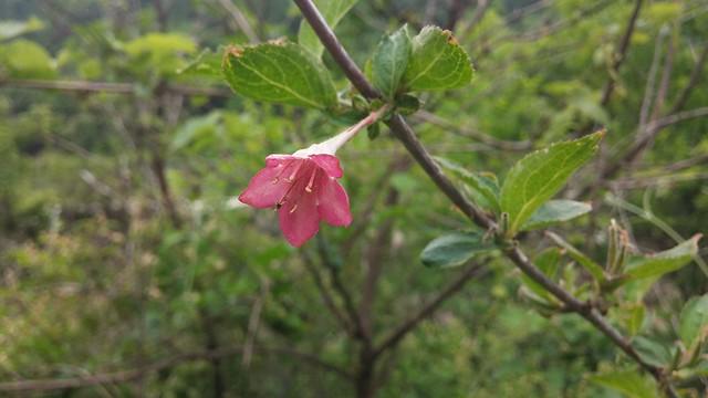 동네한바퀴 | 병꽃나무