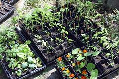 sunning seedlings  IMG_5615
