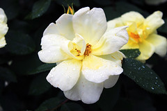 Pretty white and yellow flower