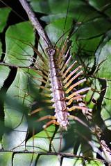 Escutígera / Centipede (fam. Scutigeridae)