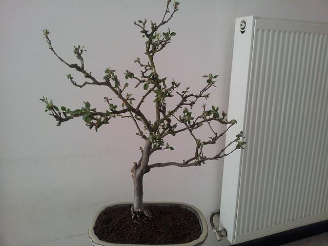 rempotage de pommier mes premiers bonsai pr sentation et premiers projets forums parlons. Black Bedroom Furniture Sets. Home Design Ideas