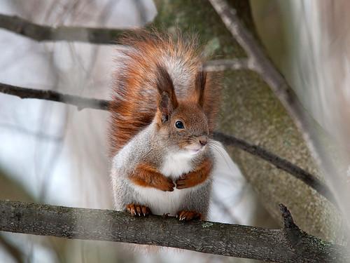 紅松鼠,圖片來源:Sergey Yeliseev