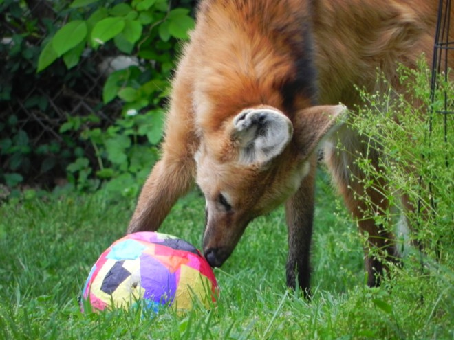 04-07-2012_Maned Wolf