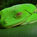 Small photo of Red-eyed Tree Frog (Agalychnis callidryas)