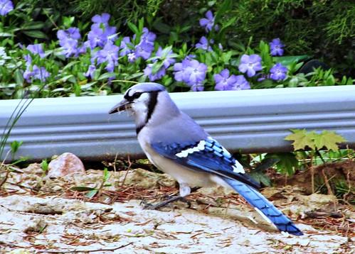 bluejay by cherithsky