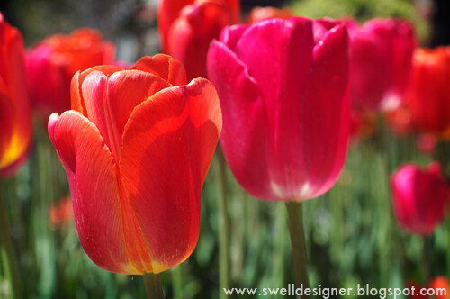 tulip-gardens-thanksgiving-point-6