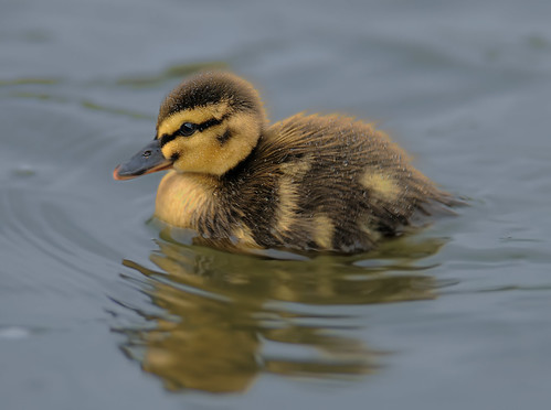Duckling by Andy Pritchard - Barrowford