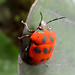 Fun little bug. Jaguar Rescue Centre. Puerto Viejo, Costa Rica 25APR12