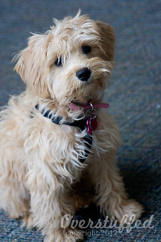 Woolly Puppy