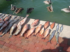 Assortment of fish from Gulf of Mexico