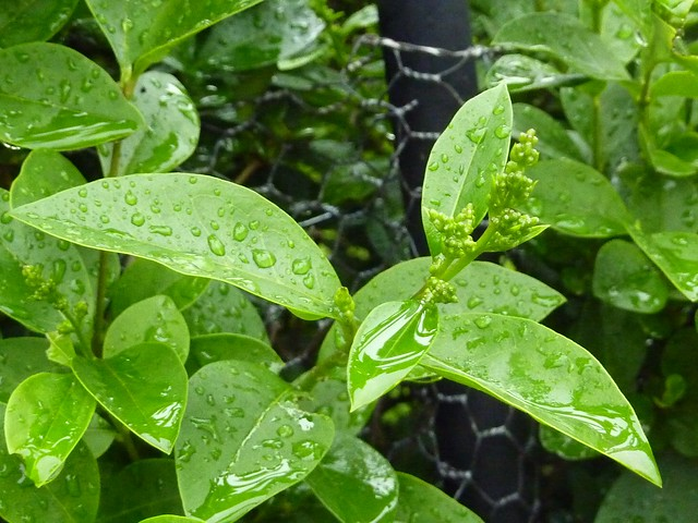 Gouttes de pluie sur les feuilles