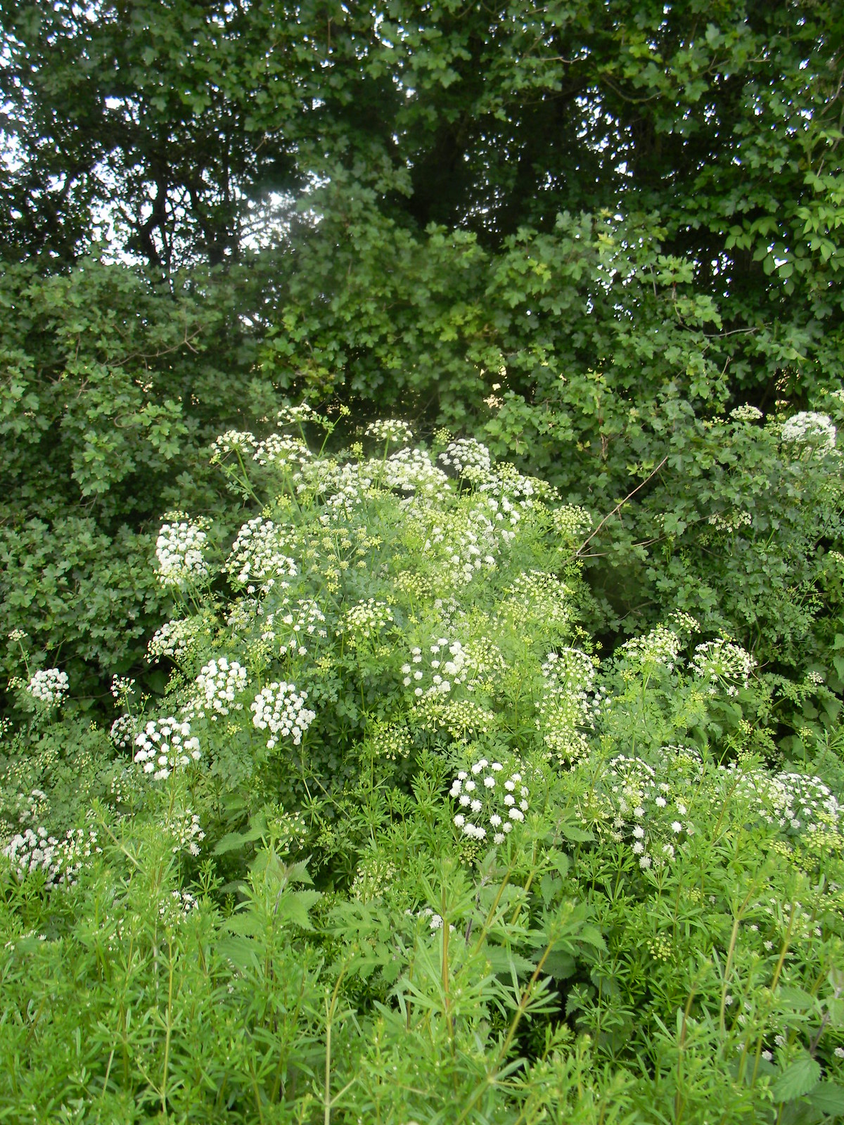 "Hemlock Water Dropwort Britains most poisonous plant emj.bmj.com/content/19/5/472.full"" rel=""nofollow emj.bmj.com/content/19/5/472.full Uckfield to Lewes"