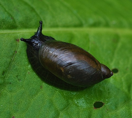 Pfeiffer's Amber Snail Stodmarsh by Kinzler Pegwell