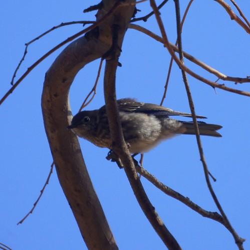 Baby Western Bluebird