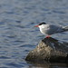 Common Tern 8170a